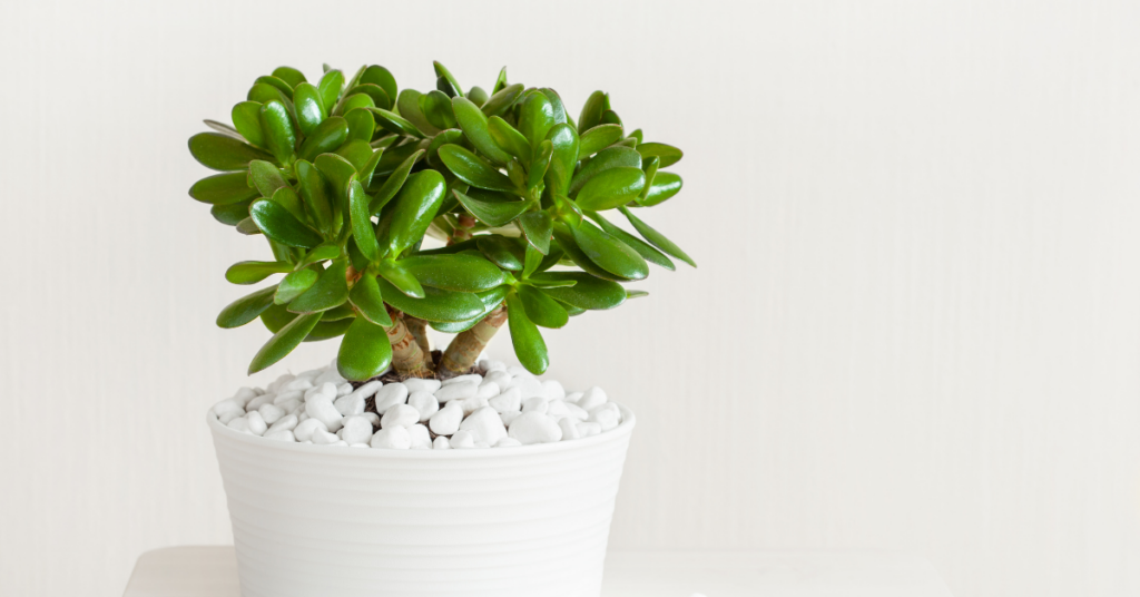 are succulents poisonous to cats