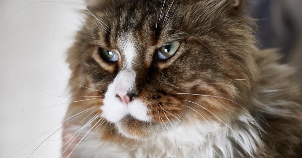 cat abscess