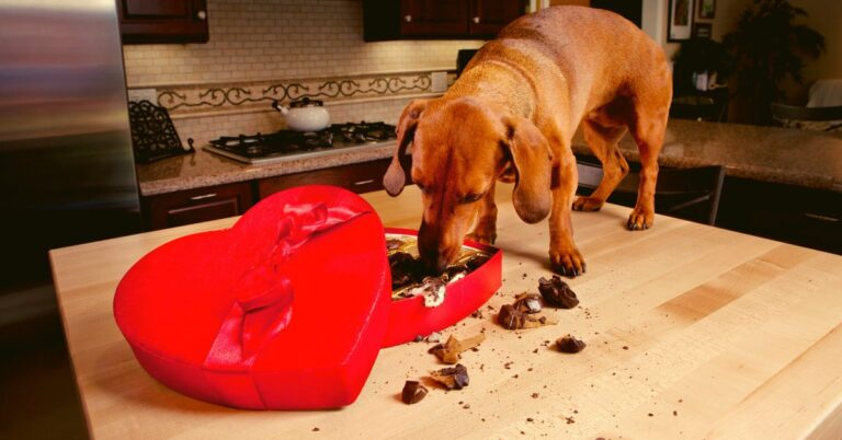 How Much Chocolate is Toxic to Dogs?