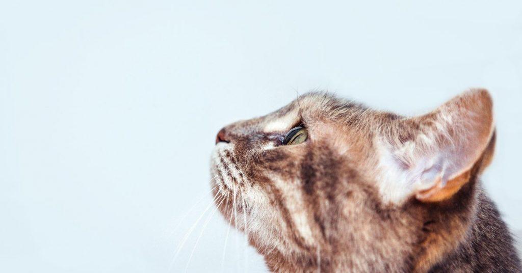 can cats get parvo