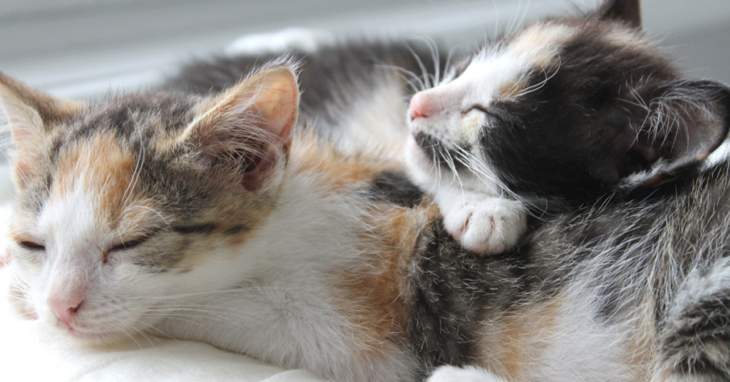 coccidia in cats