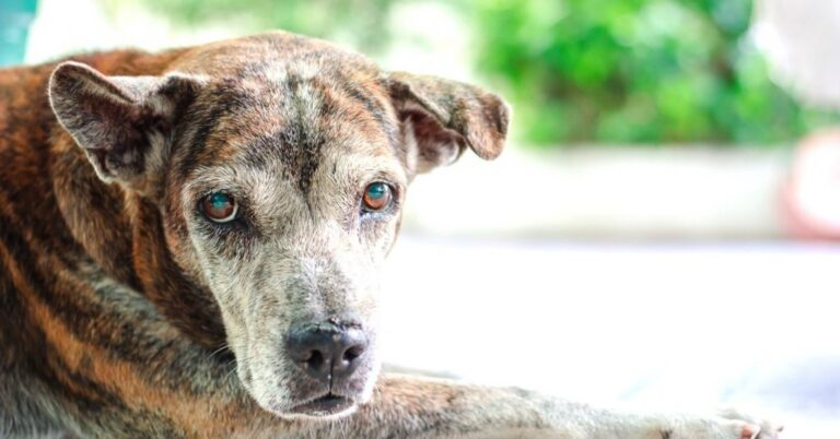 Laryngeal Paralysis in Dogs: Everything You Need to Know