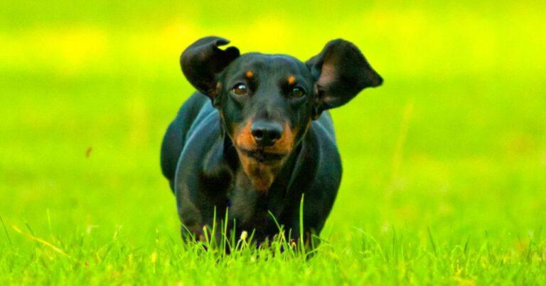 What is Myasthenia Gravis in Dogs?