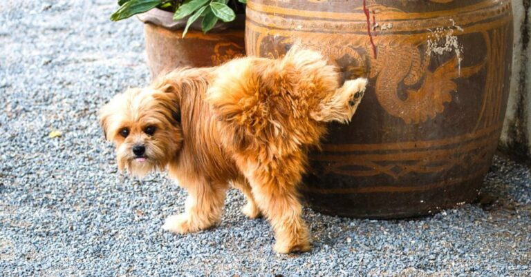 Bladder Stones in Dogs (Complete Guide)