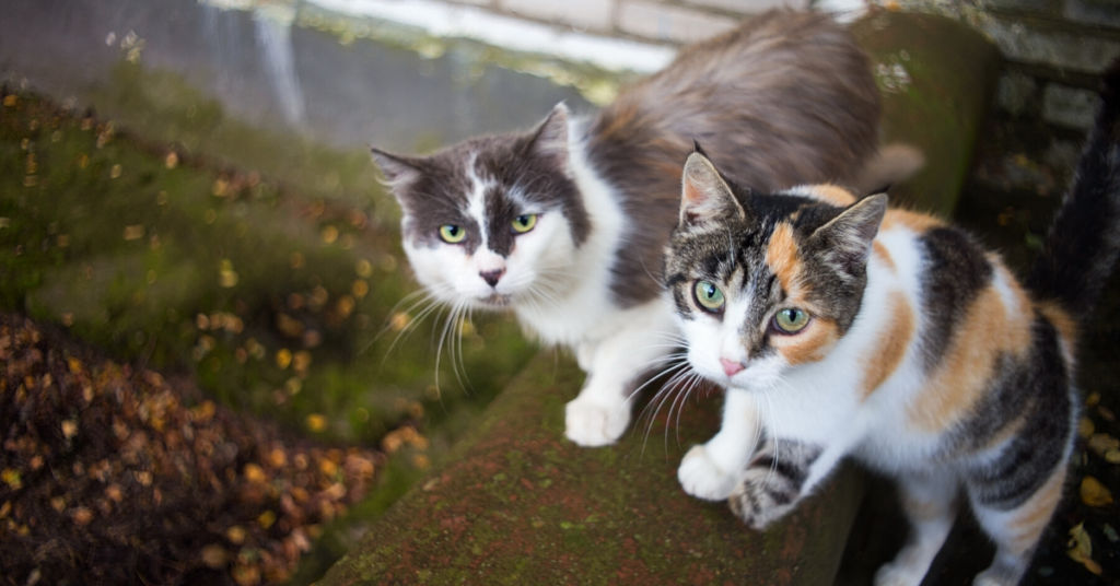 can you give cats benadryl