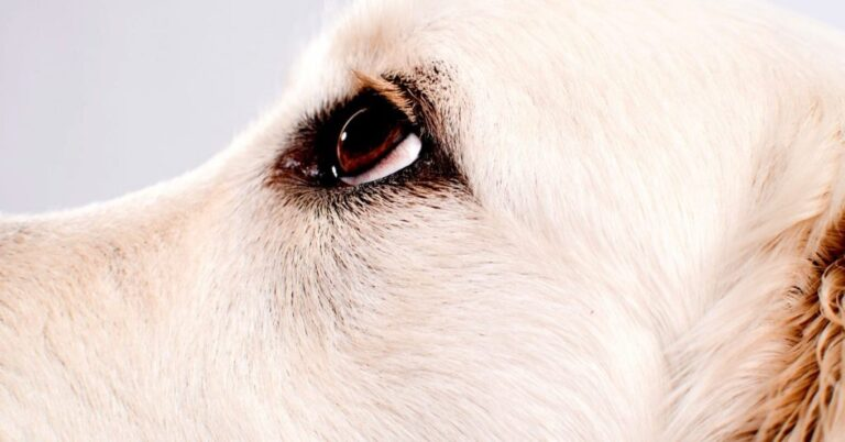 Cloudy Eyes In Dogs (Possible Causes)