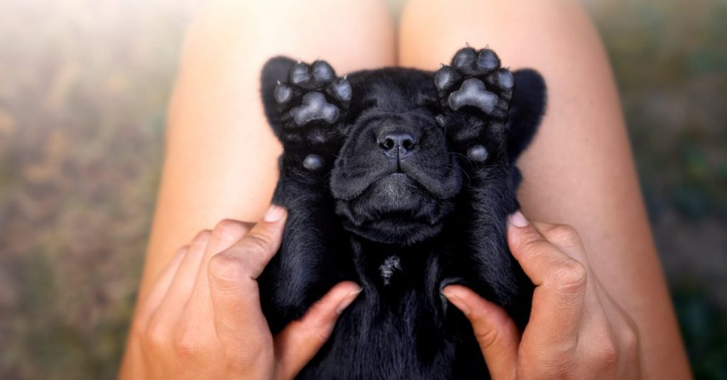 swollen dog paw
