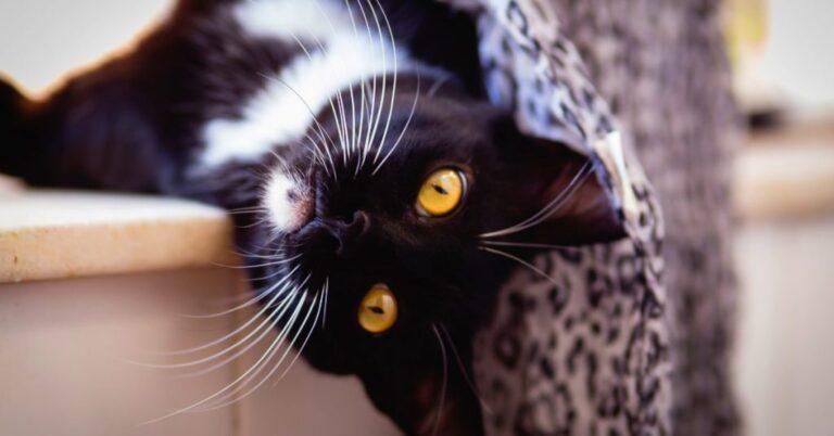 Cat Urinary Blockage (Symptoms & Treatment)