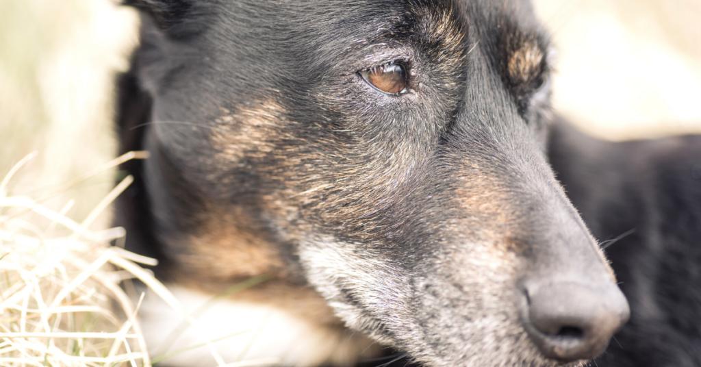 symptoms of lymphoma in dogs