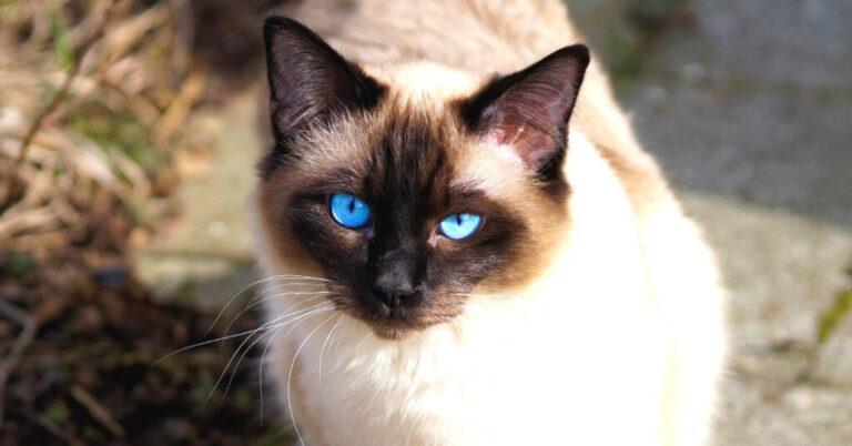 Feline Hyperesthesia (Complete Guide)