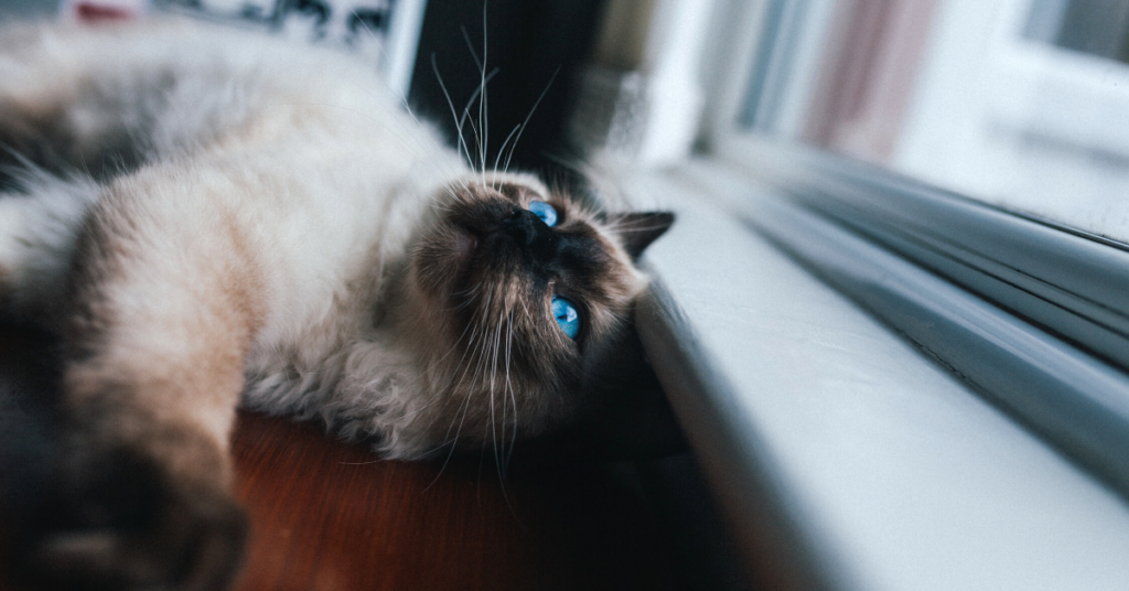 lymphoma in cats
