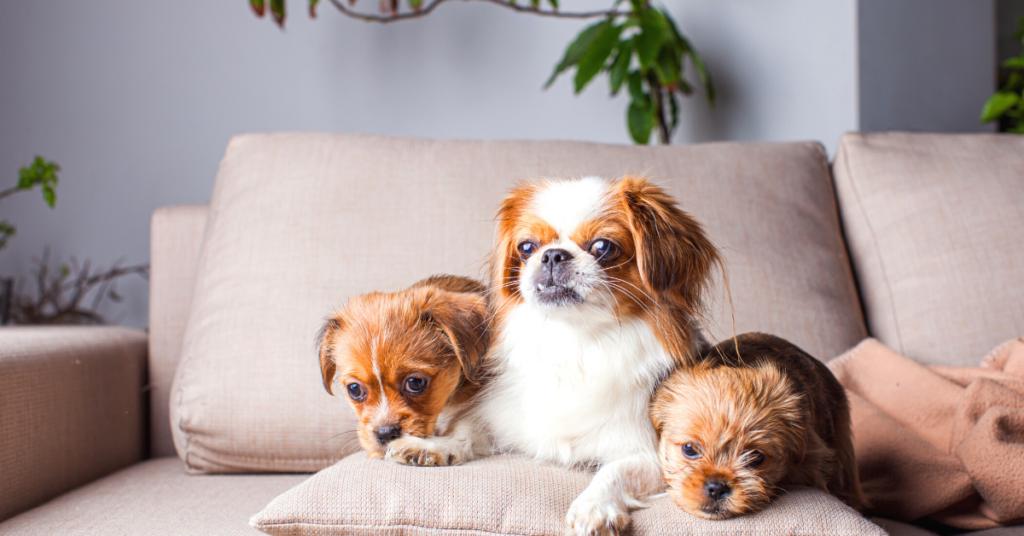 brachycephalic dogs