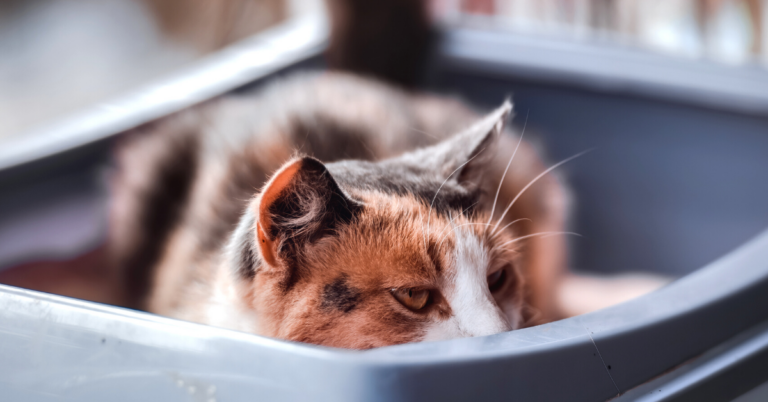 How to Treat a Cat UTI